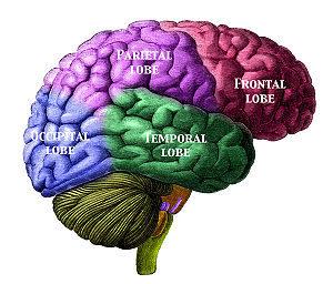 300px-Brain_Lobes